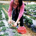 Strawberry Field Work 2